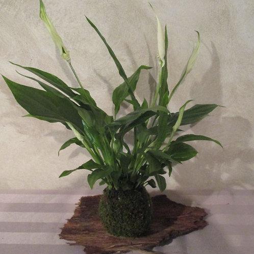 KOKEDAMA 90 Spathiphyllum