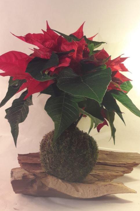 KOKEDAMA Poinsettia rouge