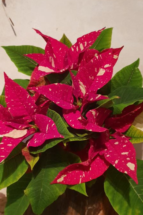 Copie de KOKEDAMA Poinsettia feuillage rouge et blanc