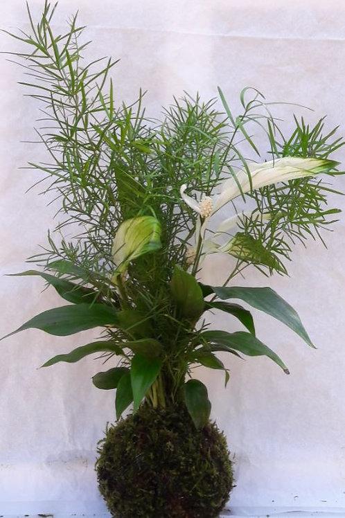 KOKEDAMA 44 Duo Asparagus densiflorus/spathi