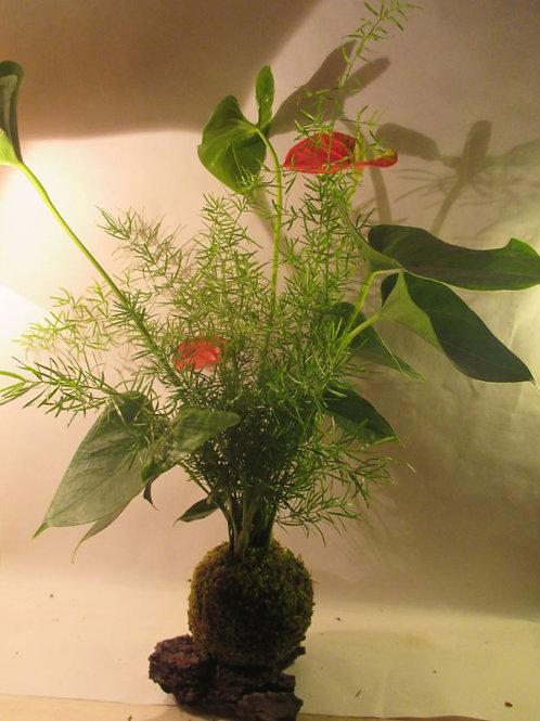 KOKEDAMA 100 Duo Anthurium rose/Asparagus sprengeri