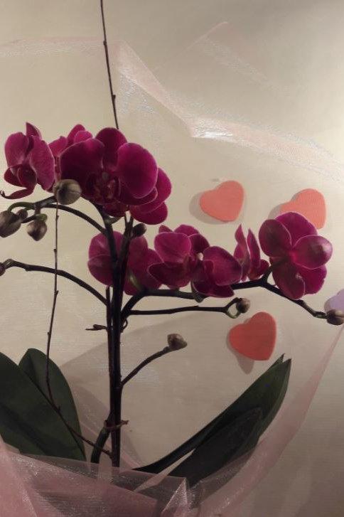 KOKEDAMA  95 Orchidée Phalaenopsis fuschia 1 branche