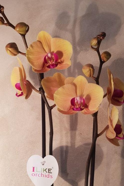 KOKEDAMA 97 Orchidée phalaenopsis jaune et rose 2 branches