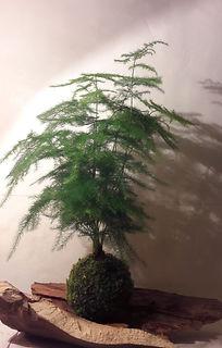 Asparagus janv18.JPG
