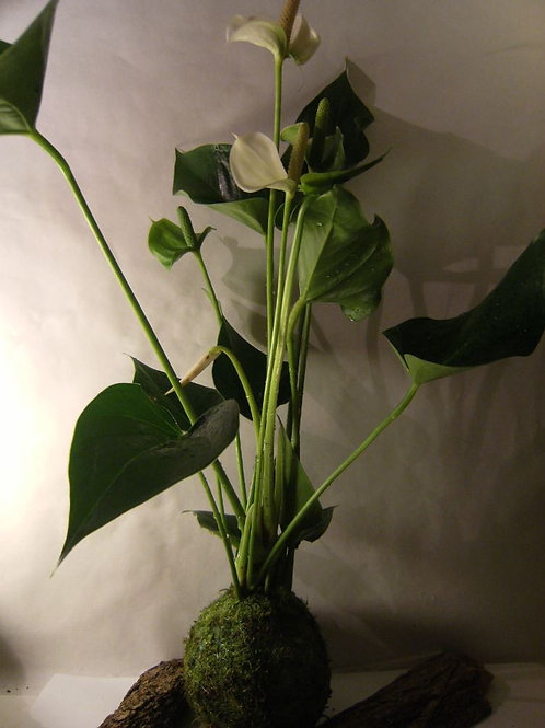 KOKEDAMA 88 Anthurium blanc