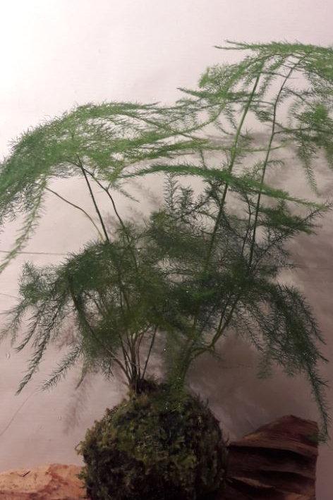 KOKEDAMA 61 Asparagus Cetaceux Plumosus petit modele