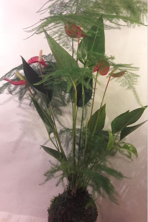 KOKEDAMA 98 Duo Anthurium rouge et Asparagus plumosus