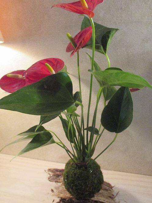 KOKEDAMA  81 Anthurium rouge moyen modèle