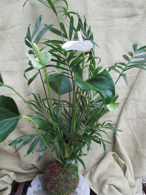 KOKEDAMA 97duo Anthurium blanc/chamaedorea