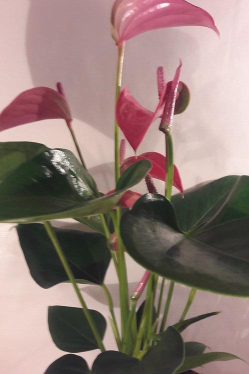 KOKEDAMA 82 Anthurium rose