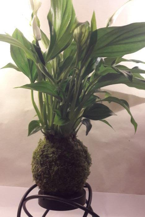 KOKEDAMA 60 Spathiphyllum PETIT MODELE