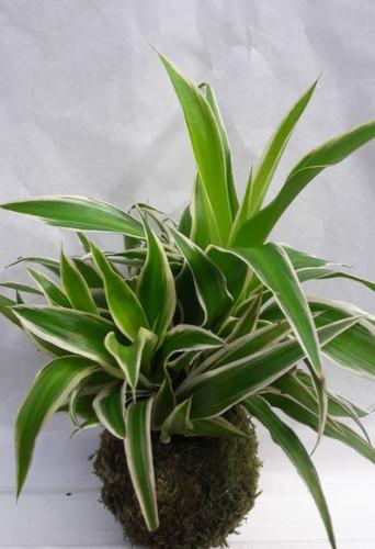 koke 6 Chlorophytum bonny