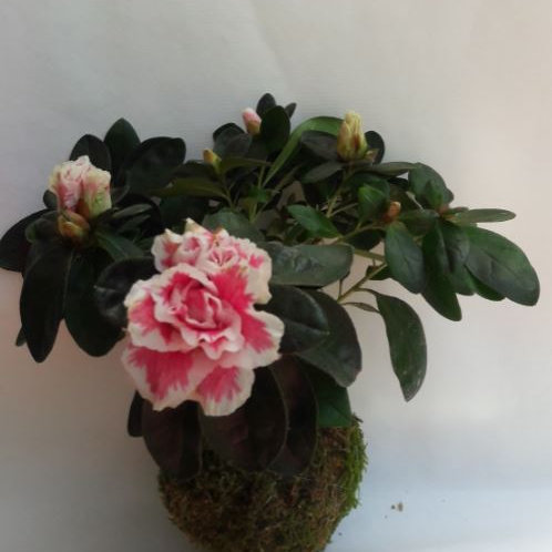 KOKEDAMA 93 Azalée rose