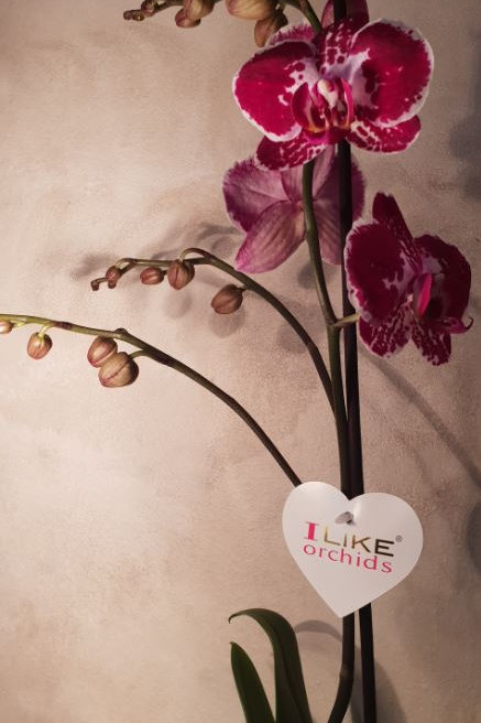 KOKEDAMA  101 Orchidée Phalaenopsis fuchsia moucheté 1 branche