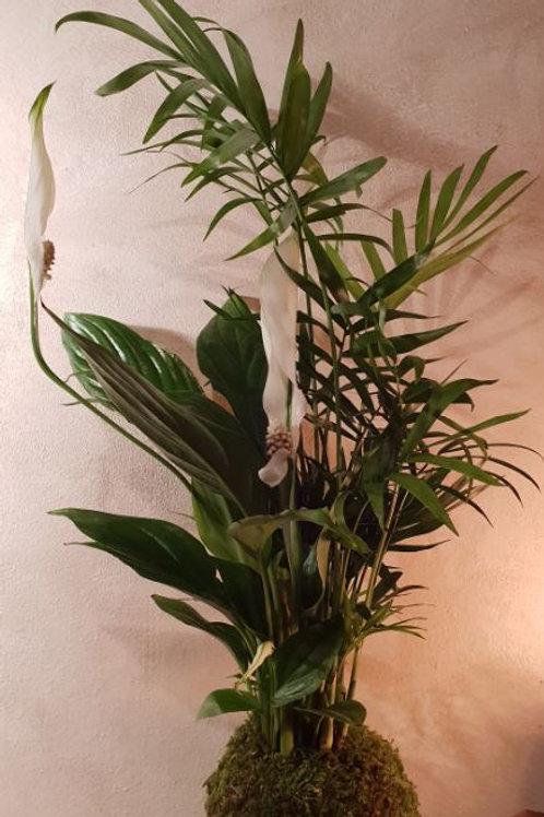 KOKEDAMA 43 Duo Chamaedorea/Spathiphyllum