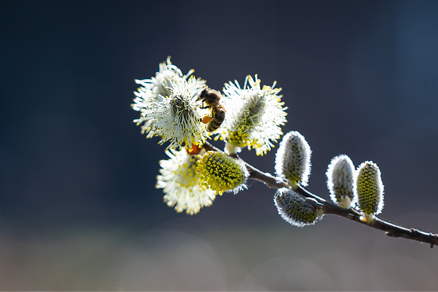 willow-flower-4938498_1920_edited.png