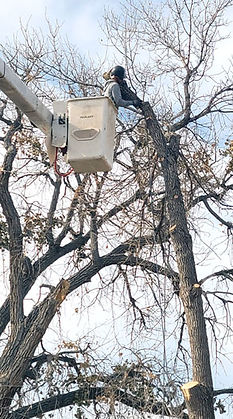 Tree trimming in the Denver area from an affordable tree service company