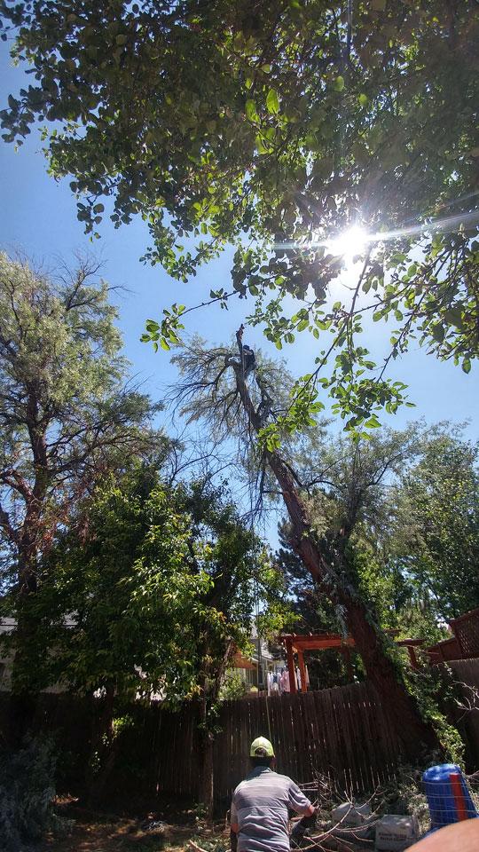 Arborist-climbing-a-tree