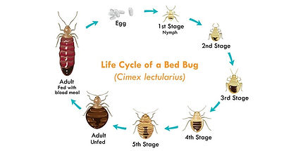 bed bug lifcycle.jpg