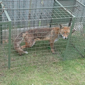 Problems with London foxes are common. If you need help with fox removal or other pest control, get in touch with London Fox Control for all your fox pest control needs.
