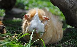 guinea-pig-498097_1280.jpg