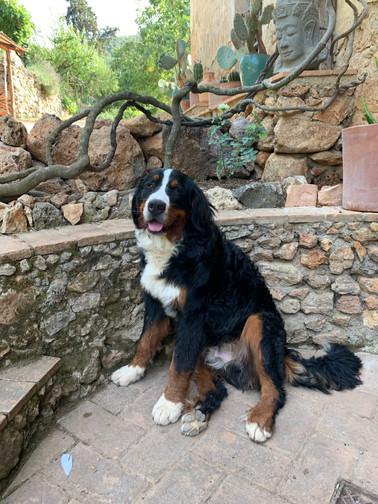 Balu - der süsseste Bernhardiner, den es