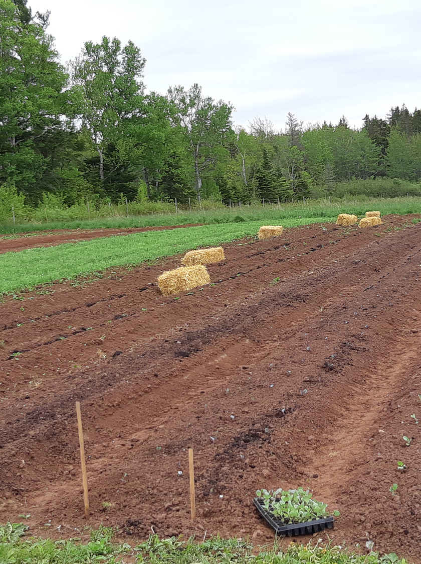 Putting in our 800 storage cabbage transplants .. just in time for a nice rain!