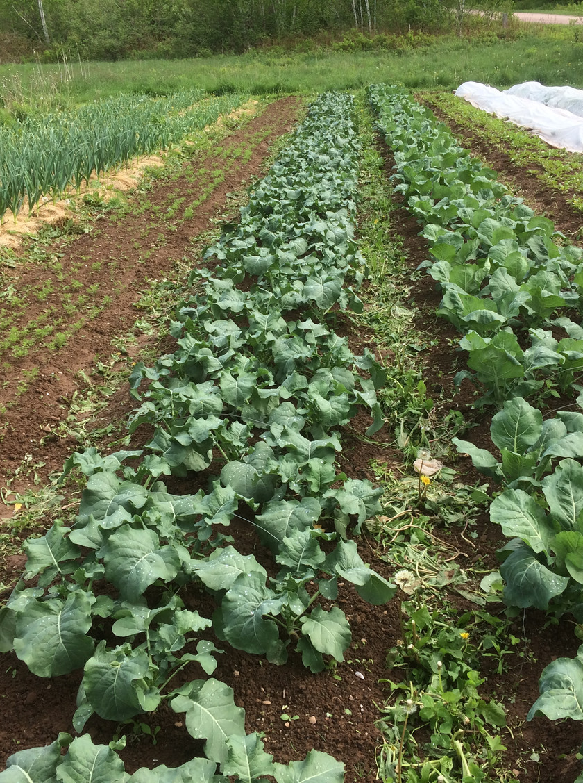 Early Cauliflower and Broccoli, transplanted in early May, will be ready by the end of June!