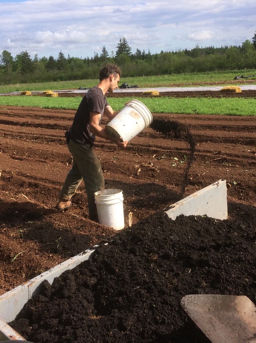 Compost for the Rutabega beds.  We are grateful for the BCS cart that can haul up to 800 lbs.  It makes composting the back fields much easier .... I used to use a wheelbarrow!