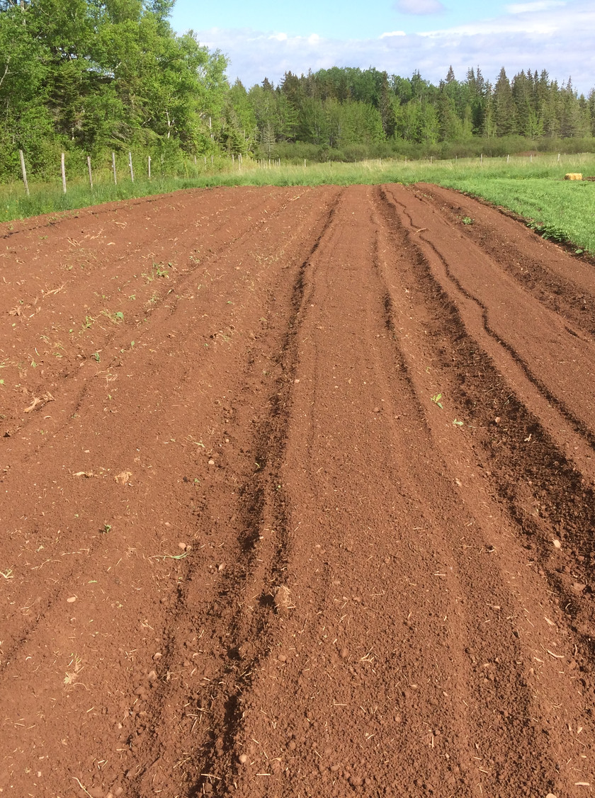 These are our storage carrot and beet beds!  After four season of compost. cover crops, straw mulch and shallow tillage, this once dense, compacted clay soil is not friable, fluffy and full of worms!  It's a pleasure to begin to see the results of long term soil health management.