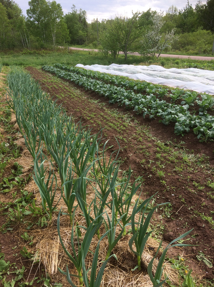 Garlic, the first seeding of carrots and early Cauliflower and Broccoli