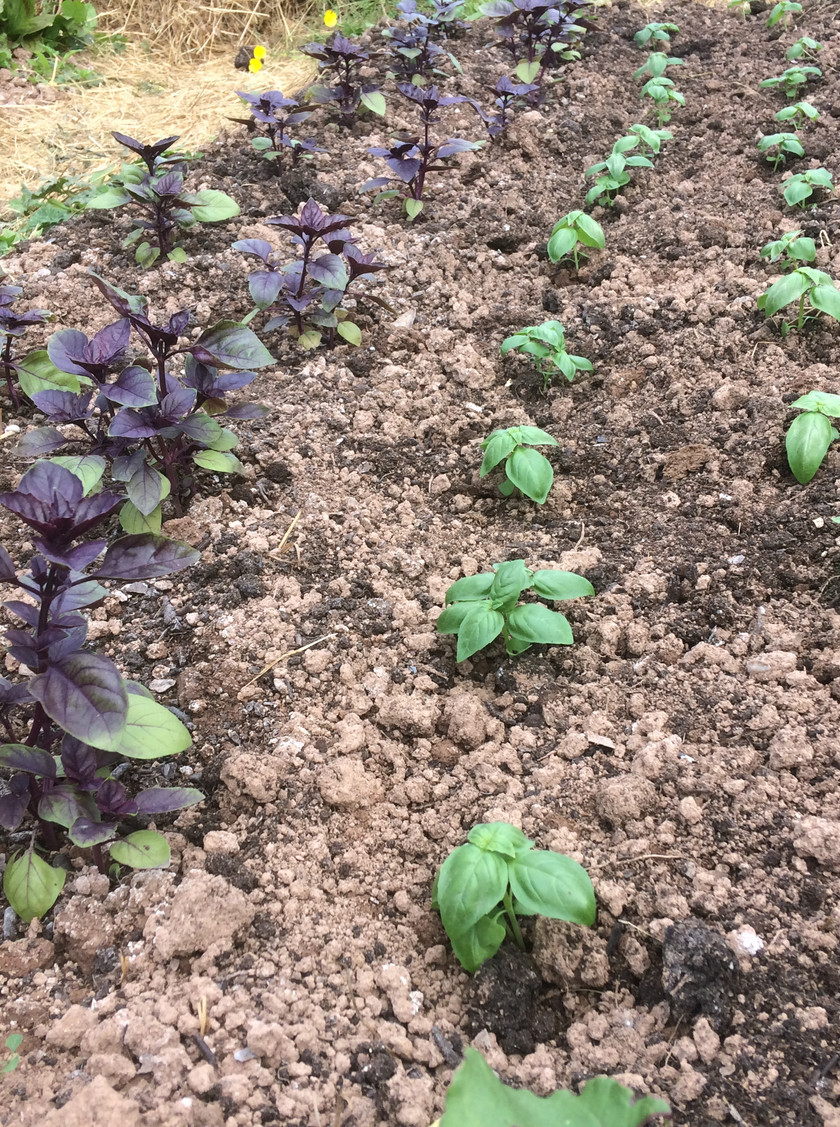 Sucession plantings of Basil - delicious Purple Basil on the left and Genovese green on the right.