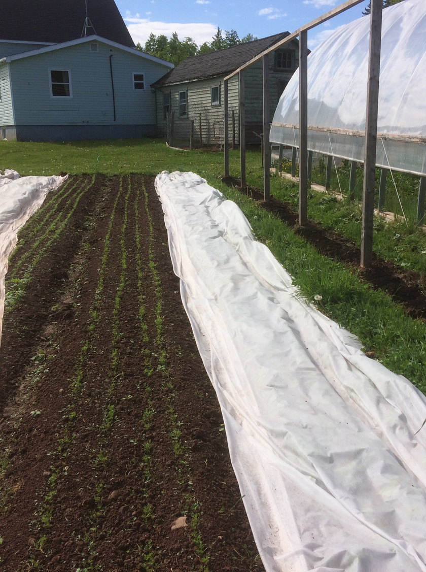 The tomato trellis ready for our third planting of vining tomatoes and our newly weeded carrot beds.