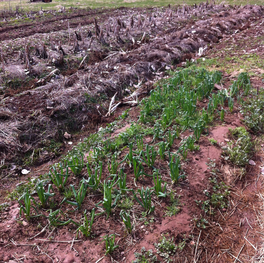 Hardy Spinach in the field
