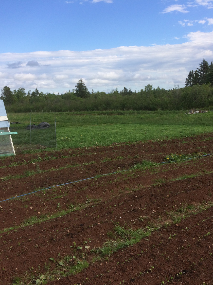 The South field are beds of crops that go in really early in the season and take a while to grow.  These are rows of parsnips, transplanted leeks & onions and celeriac.