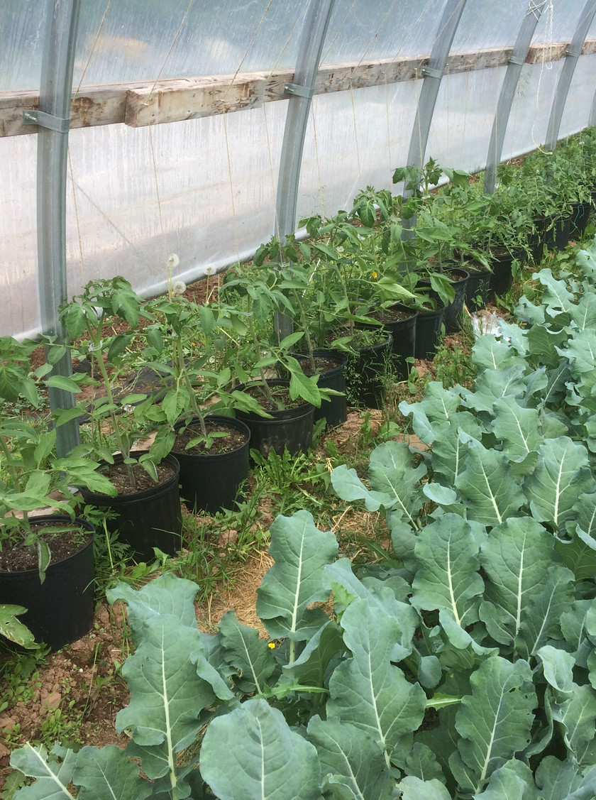 This is the first season we're growing tomatoes in the greenhouse and in pots.  We reserve the greenhouse for extra early crops and late salad mix crops, so the timing for planting tomatoes and leaving them in the ground until October, doesn't work with our other greenhouse crop rotation.  This year the tomatoes are benefitting from the warm soil in these black pots and from the extra light and warmth that is reflected off of the side of the greenhouse.  Thsi is our first planting of indeterminate (vining) tomatoes and I'm excited to be growing some specialty varieties:  Pruden Purple - a dark purplish beefstake, Coyote - producing bright yellow cherry tomatoes from Mapple Seeds in Elgin, Sweet Tumbler - a high yielding cherry variety from Annapolis Seeds in NS), and Cosmonaut Volkov - an early maturing roma type tomato from Hope Seeds.   In the foreground, our first planting of broccoli that went into the greenhouse in mid April and will be harvested in the next few days in time for our first CSA delivery.