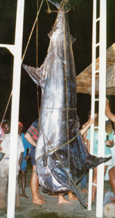 Caught by  Johannes Kramer aboard Neptune, skippered by Angus Paul. Weighed in at 1250lbs.