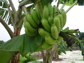 Going Bananas  そんなバナナ!?