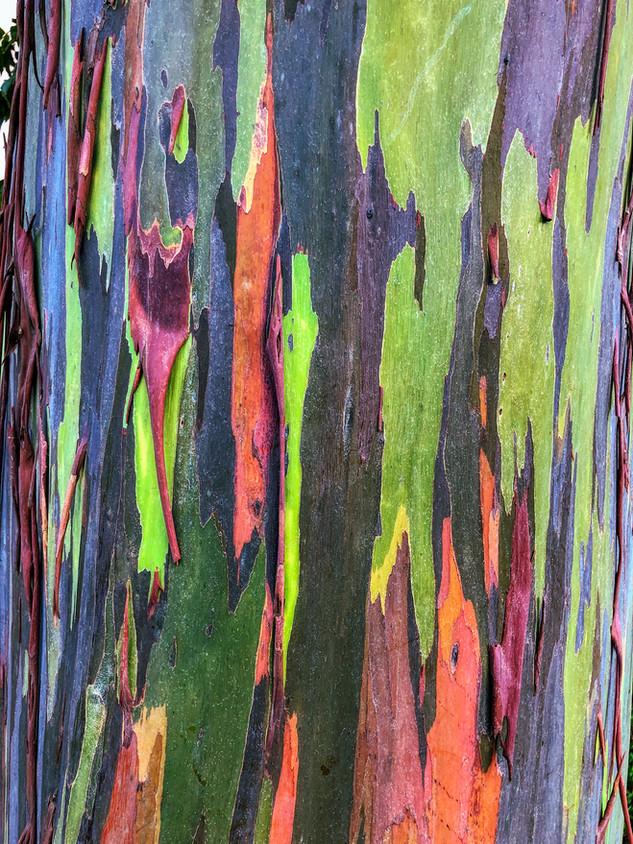 Eucalyptus deglupta, Kauai