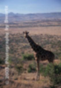 Giraffe of the Serengeti