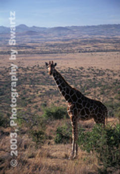 Giraffe of the Serengeti