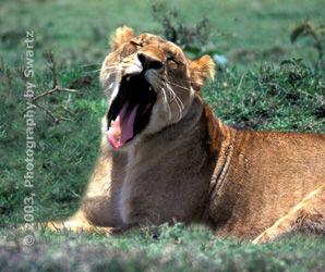 Yahning Lioness