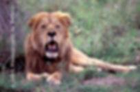 Lion of the Serengeti