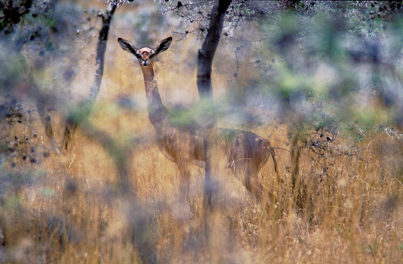 Gerenuk, Tanzania