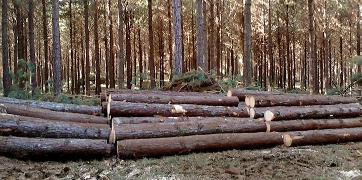 A fertilização das florestas de pinus (foto) e de eucalipto serão os destaques
