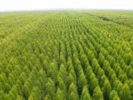 CHILE - Mais de um terço de plantações florestal do país, pertenece a 22.744 pequenos proprietários.