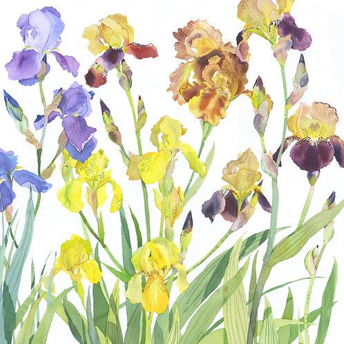 MW6 Irises