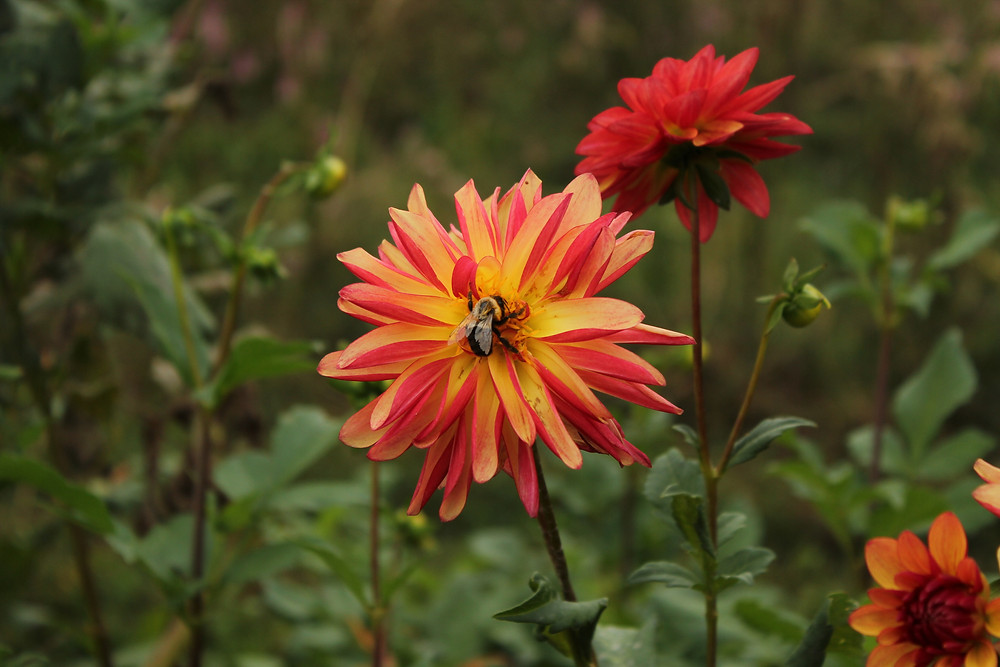 A bee rests on a red and orange flower at Lady Luck Flower Farm in Asheville, NC.