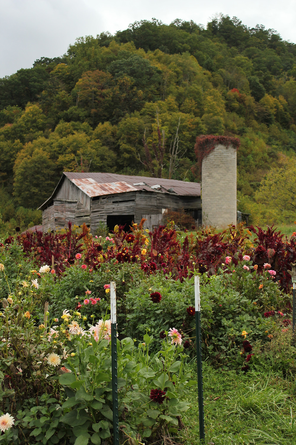 A wooden barn behind a flower field at Lady Luck Flower Farm in Asheville, NC.