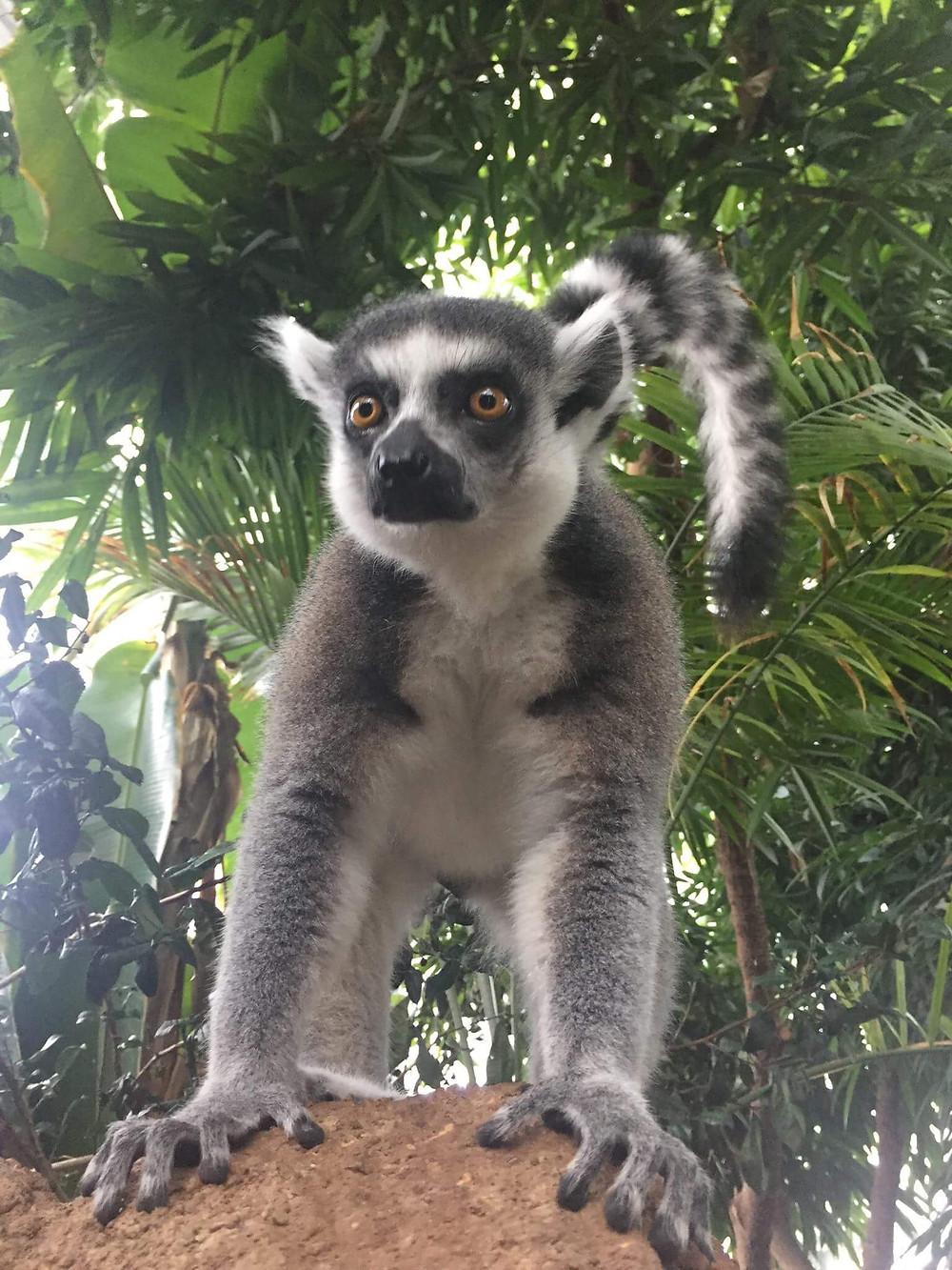 Ring-tailed lemur photo by Karis Frain